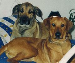 Doggenmischling, Rhodesian Ridgeback-Mischling