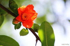 ざくろの花②