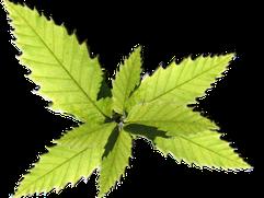 feuilles de châtaignier