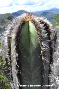 Pierrebraunia brauniorum im Habitat / in habitat / no habitat