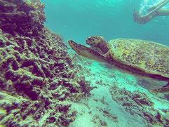 Schildkröte, Schnorcheln, Gili Air