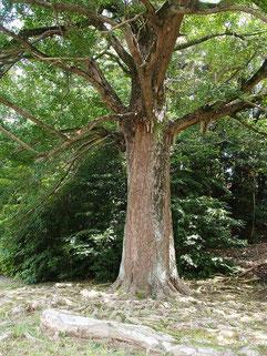 蓮永寺のイチョウ(おとうさんの木)