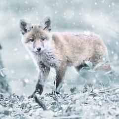 Fuchs im Schnee. Quelle Pixabay