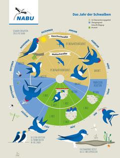 Das Schwalbenjahr auf einem Blick - Grafik: NABU/stockmarpluswalter