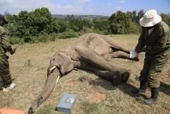 Veterinarios de la reserva de Masai Mara atienden a uno de los elefantes heridos. ©Samer Alasaad
