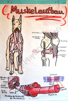 Muskelaufbau Vordergliedmaße