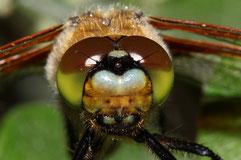 Potrait eines jungen Vierflecks, Libellula quadrimaculata.