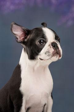 бостон терьер, бостонский терьер, boston terrier, бостон, щенки бостона, питомник бостонов