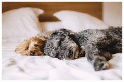 Zwei Hunde schlafen nach dem Dogwalking auf dem Bett