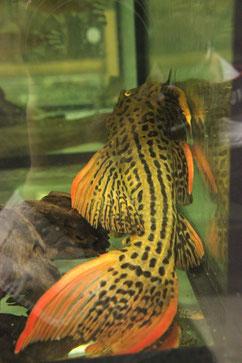 """Pseudacanthicus sp. """"L 25"""" Der Rotflossen-Kaktuswels kann bis 40 cm groß werden. Dieses Tier hatte dieses Maß bereits locker erreicht. Er lebt in verschiedenen Flüssen in Brasilien."""