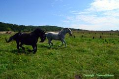 Lebensfreude unsere Kutschpferde, Lola und ihr Sohn Landor