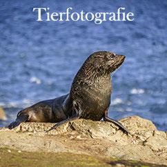 Tierfotografie Menubutton Seehund in der Sonne