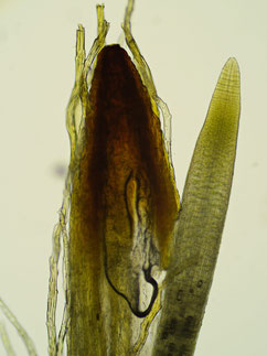 Geöffnete Kalyptra mit Spitze des Sporophyten