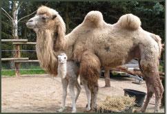 Tierarztpraxis - Kameliden