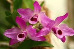 Phalaenopsis Mini Mark