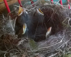 Diese Piepmätze werden von ihrer Vogelmutter gefüttert.....