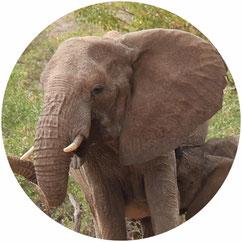 Wüstenelefantekuh säugt ihr Kalb