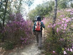 ツツジの咲く道