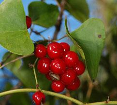 la salsepareille : des fruits toxiques