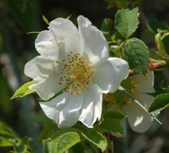 fleur d'églantier ou rosier sauvage