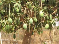 Früchte am Mangobaum