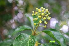 Nahaufnahme des kugeligen, gelbgrünlichen Blütenstandes eines gewöhnlichen Efeus von K.D. Michaelis