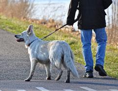 Un chien berger blanc se promène en laisse avec son maître par coach canin 16 educateur canin en charente