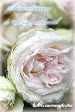 Eden Rose Pierre de Ronsard  Rosiger Adventskalender