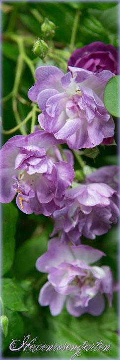 Rosen Hexenrosengarten blau Rosenblog Veilchenblau Ramblerrosen