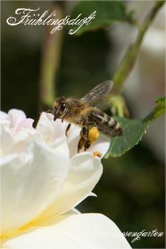 Rosen Rosenblog Hexenrosengarten Kordes Strauchrose Duft Frühlingsrose Rosa pimpinellfolia gelb abricot creme Rosiger Adventskalender