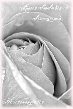 Rosenschönheiten in schwarz-weiß Rosiger Adventskalender