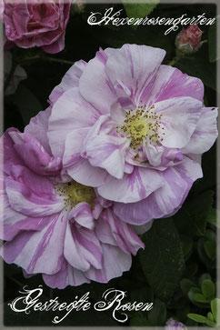 Gestreifte Rosen Malerrosen  Rosiger Adventskalender