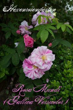 Rosa Mundi  Gallica Versicolor Rosiger Adventskalender