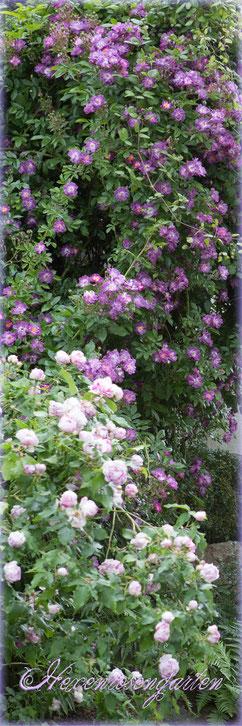 Rosen Hexenrosengarten blau Ramblerrose romantisch duftend Veilchenblau Province Panachee