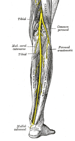 tibial nerve course and anatomy