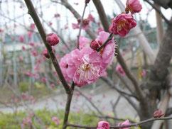可憐な花を咲かせる梅(資料写真)