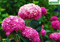 """Hortensie, Hydrangea, """" Pink Annabelle"""
