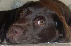 Diana notre labrador