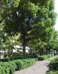 5月の新緑(大阪市内)