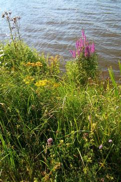 Uferstaude an der Trave