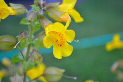 Blüten der gelben Gauklerblume Mimulus guttatus