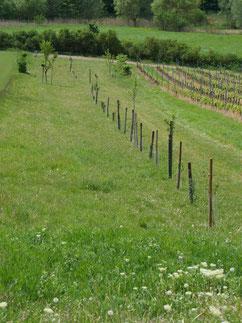 Bild 2: neue Obstbäume für eine Streuobstwiese