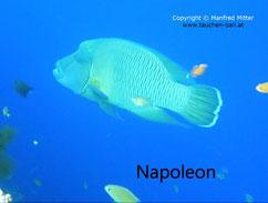 Napoleon (Napoleon-Lippfisch) in Tulamben / Bali