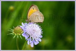 Schmetterling auf Lauch