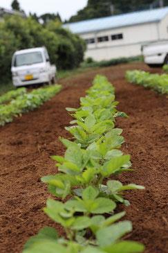 ふかふかの有機の土と作物の写真