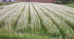 蕎麦の花が見頃です♪♪♪