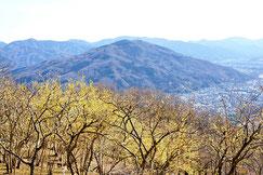 04-59 ロウバイ咲き乱れる早春の長瀞宝登山花を愛でるフラワートレッキング
