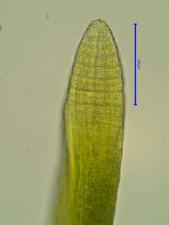 Einheitlich grüne Spitze des Sporophyten