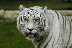 definition felins tigre blanc