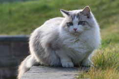 definition felides chat ragdoll